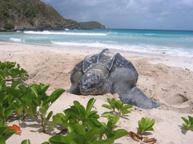 BVI Leatherback Sea Turtle at Virgin Gorda - Photo by CFD