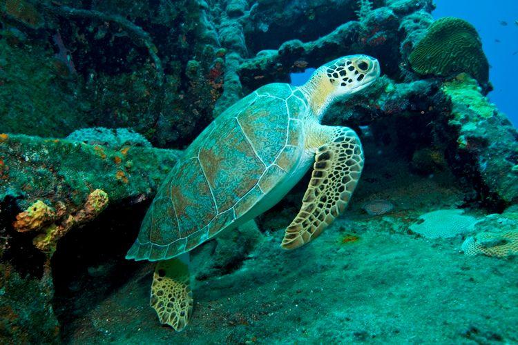 Green Sea Turtle - Photo by Steve Simonsen