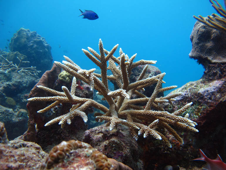 Single staghorn coral outplanted at Cane Bay 1 year  later