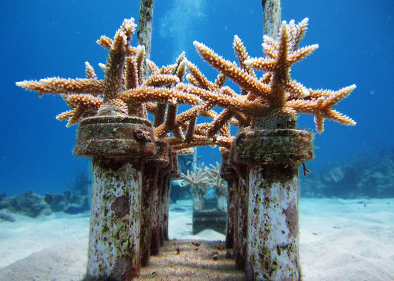 Staghorn corals growing on block nursery structure at Cane  Bay, St. Croix